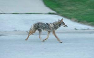 coyote1
